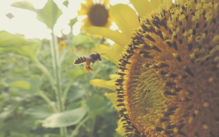 Auslaufen von Pestiziden nach EU-Bürgerinitiative rettet Bienen und Landwirte