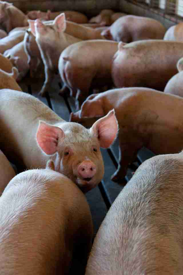 EU bans cages pigs Chicken chickens